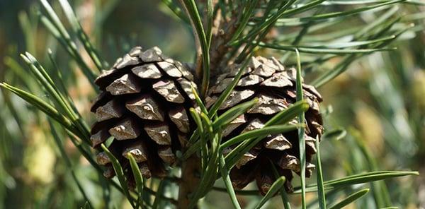scots-pine
