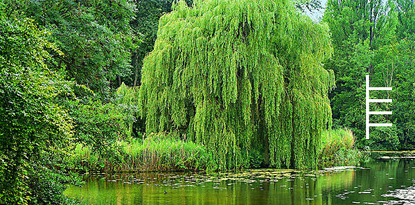 willow-ogham