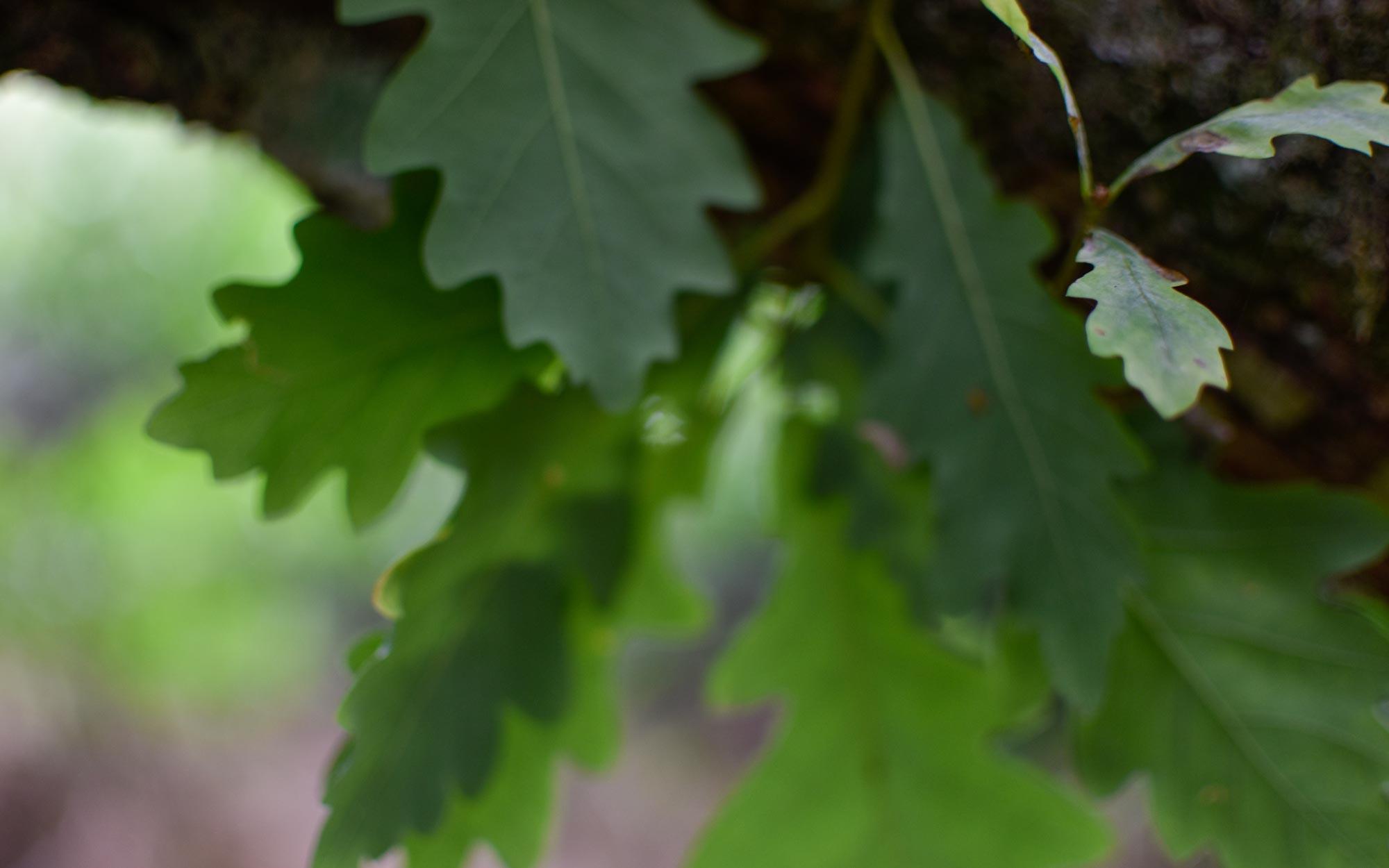 Oaks-leaves